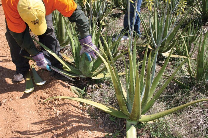 Harvesting Aloe Vera