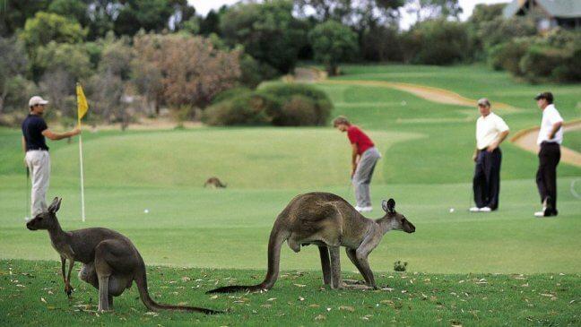 golf with the kangaroos
