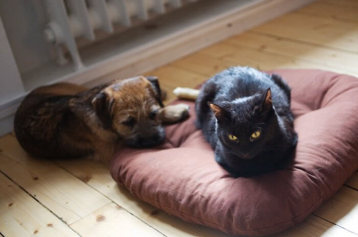 A small bog and black cat are laying on the floor